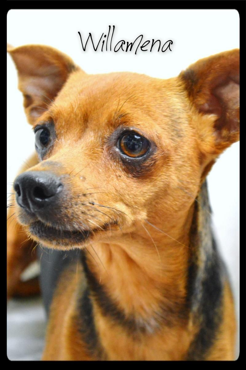 Adopt Willamena On Family Dogs Dogs Chihuahua
