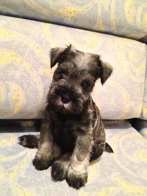 Ok I M Little Schnauzer Puppy Cute Animals
