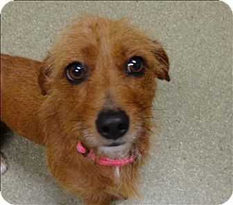 Ingrid Is A 2 Year Old Female Dachshund Mix That Is Looking For A