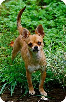 Hagerstown, MD Chihuahua Mix. Meet Bella Reduced Fee