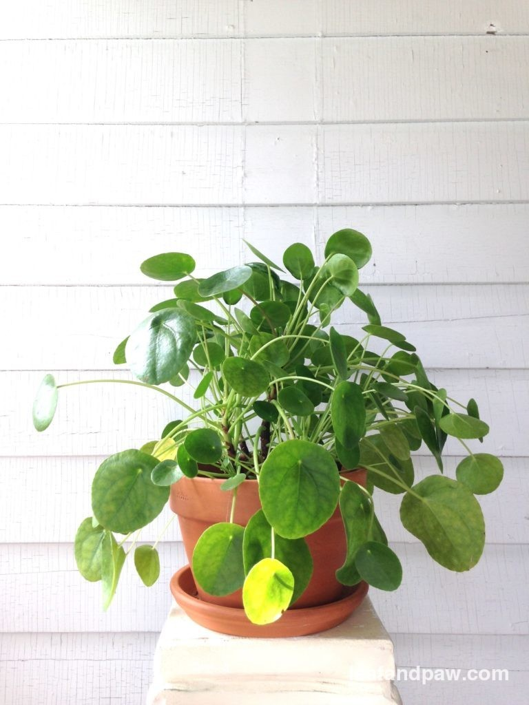 Plant Portrait: Pilea Peperomioides | Leaf and Paw ... on