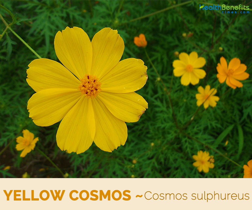 Pin By Cena On Herbalism Cosmos Flowers Blossom Garden Cosmos