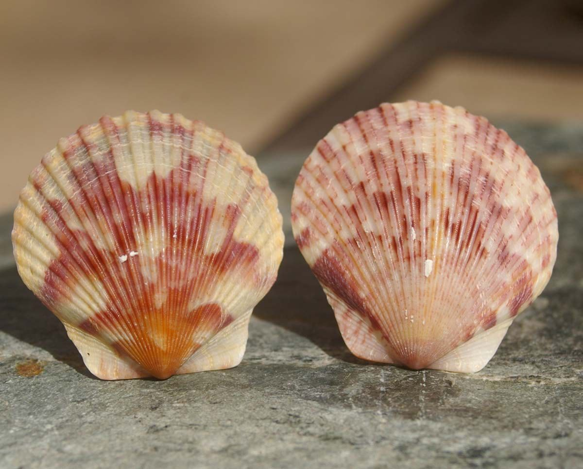 Knobs, Shell Knobs, Cabinet Knobs, Scallop Shell Cabinet Knobs or ...
