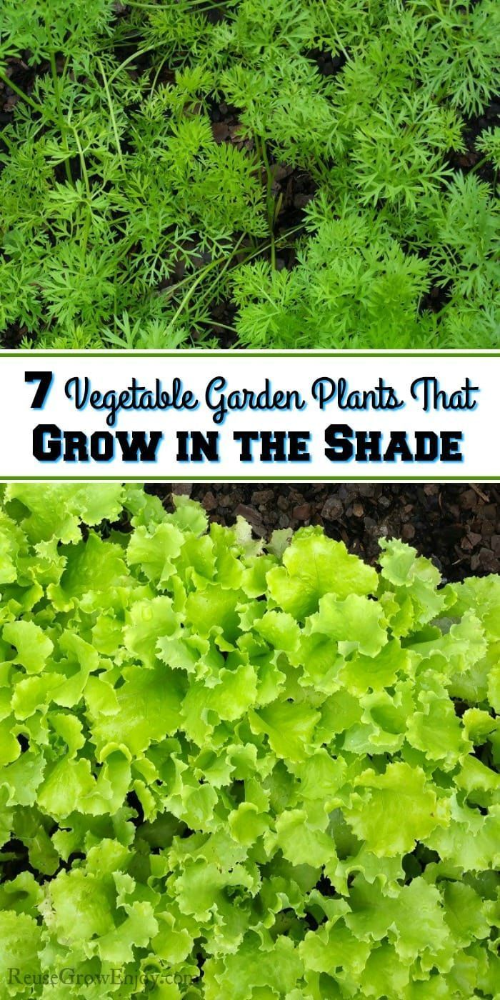 While It Is Ideal To Grow A Garden In Sun You Can However Also Use Shade Areas Check Out These 7 Vegetable Plants That Gr Gardening