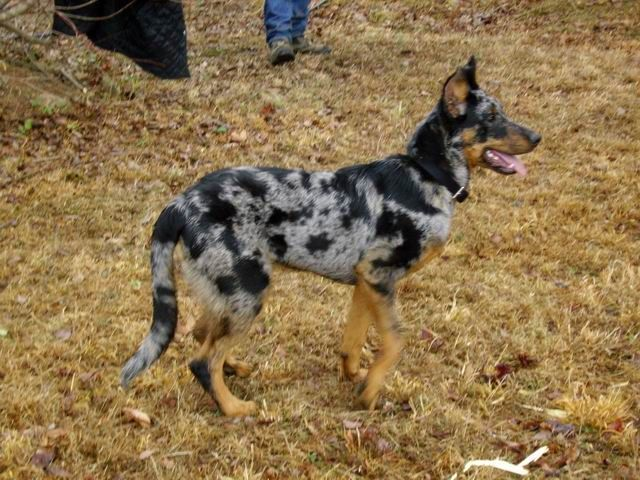 Harlequin Beauceron I Will Have One Of These Some Day Beautiful