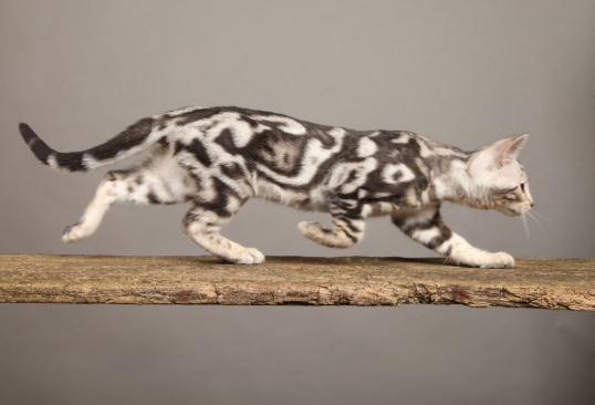 Facts Of Bengal Cat Coat Patterns And Colors Petco Near Me In 2020 Marble Bengal Cat Bengal Kitten Bengal Cat