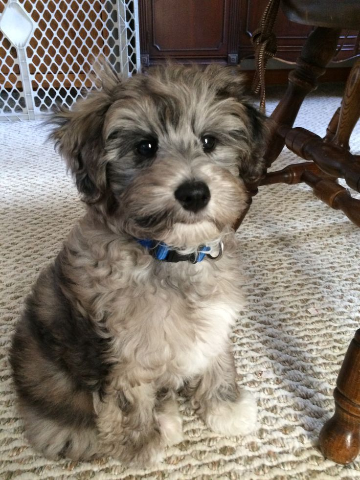 Blue Merle Schnoodle Puppy Hypoallergenic Non Shed Schnoodle