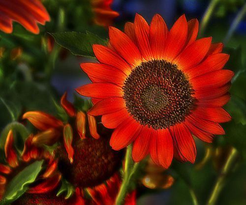 Red Sunflower Girasoles Rojos Girasoles Y Flores