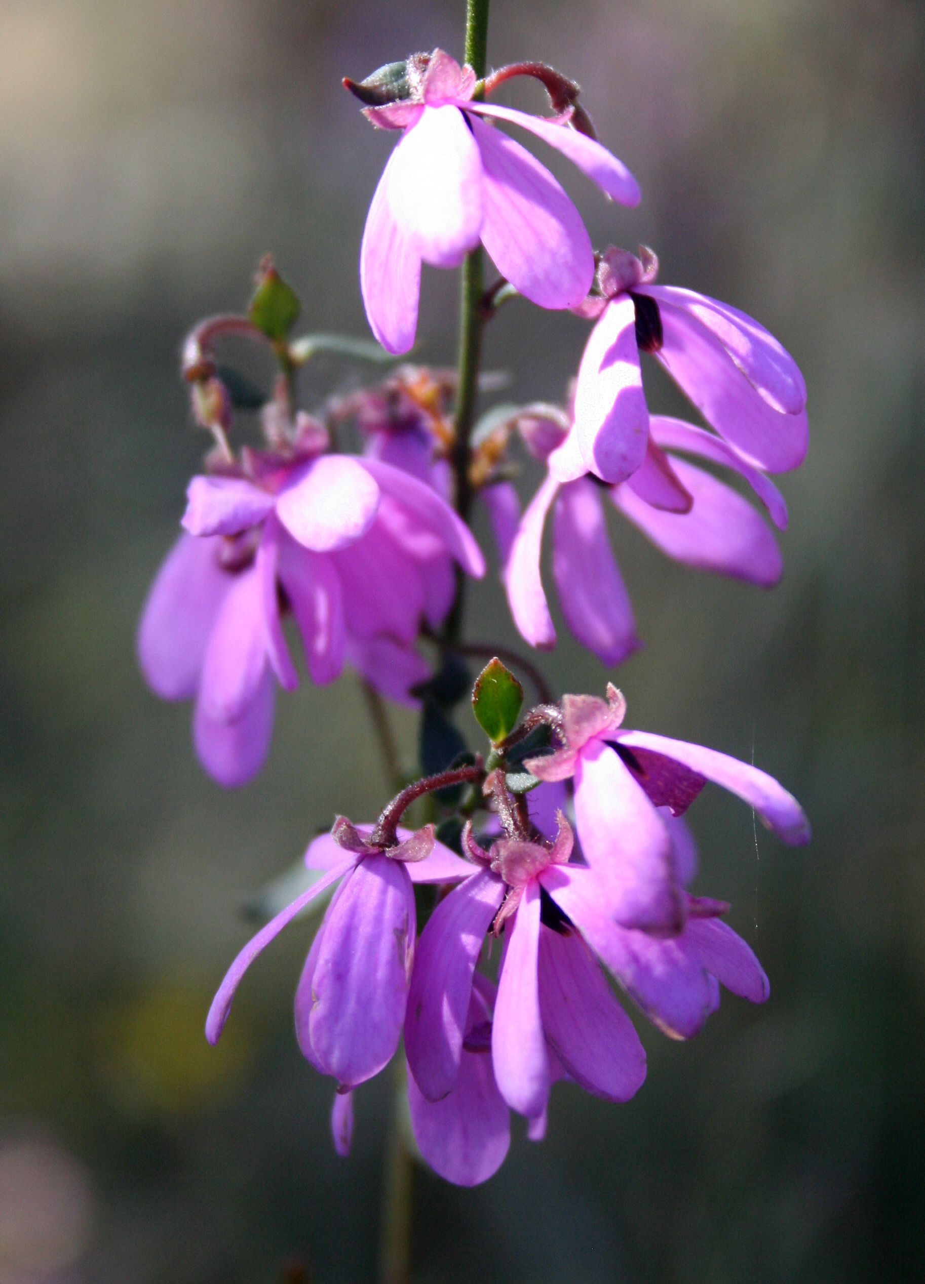 Pink Bells (Tetratheca ciliata) Endemic to southern