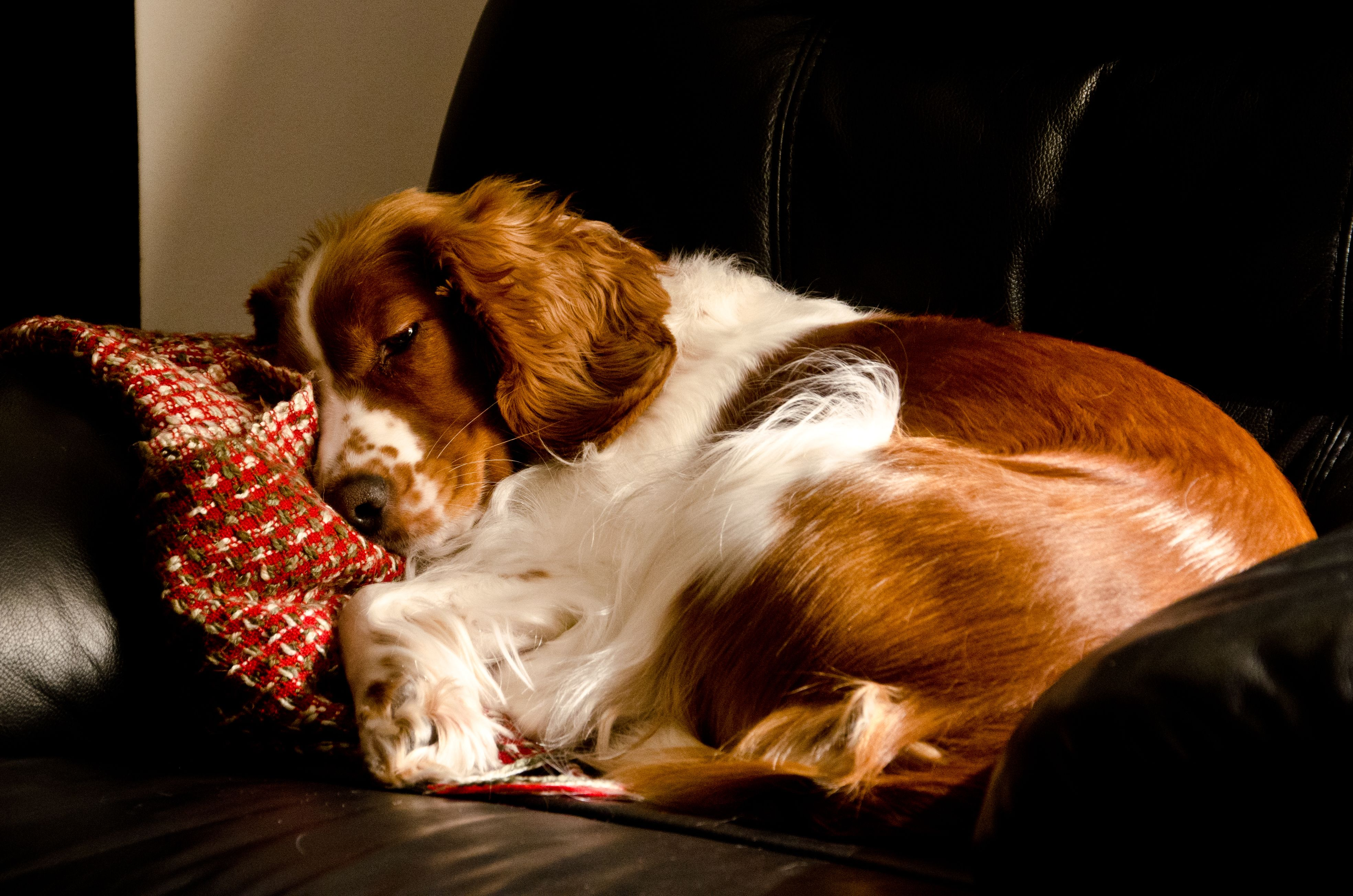 Sleeping On Her Favorite Couch Our Welsh Springer Spaniel Sandy Welsh Springer Spaniel Puppies Springer Spaniel Puppies Welsh Springer Spaniel