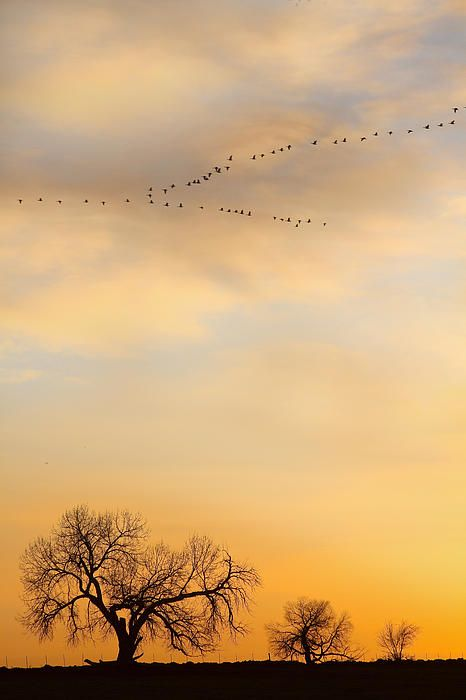 Peace and Harmony - Portrait view of three trees on the horizon with the a golden sunrise sky and a flock of geese flying over head. Boulder County Colorado. Fine art photography prints, decorative canvas prints, acrylic prints, metal Prints wall art  for sale on FineArtAmerica.com. Prints starting at $25. Copyright: James Bo Insogna