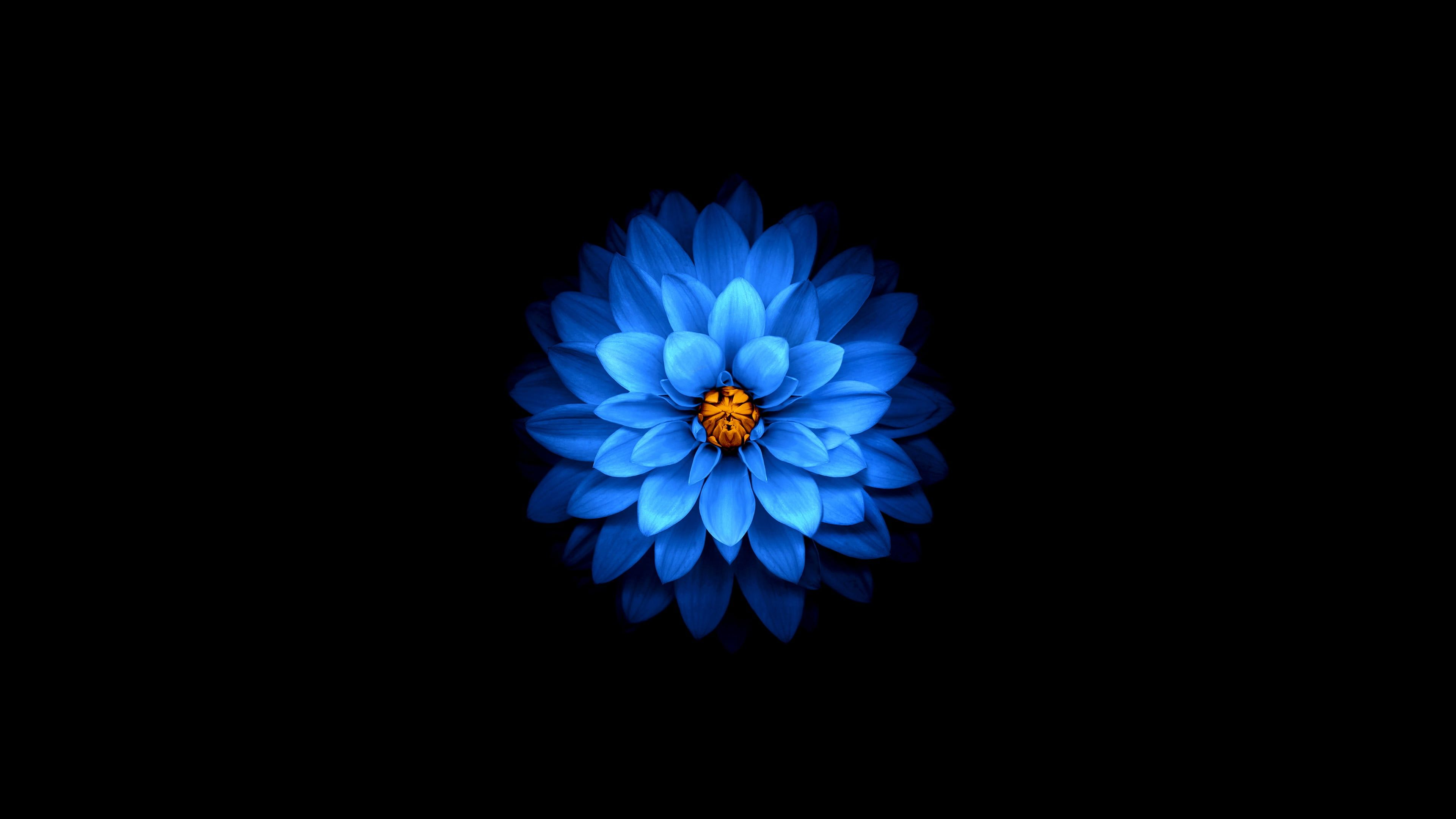 Blue Dahlia Flower Wallpaper Flower Background Wallpaper Petals 4k Wallpaper Hdwallpaper In 2020 Blue Flower Wallpaper Android Wallpaper Flowers Apple Flowers