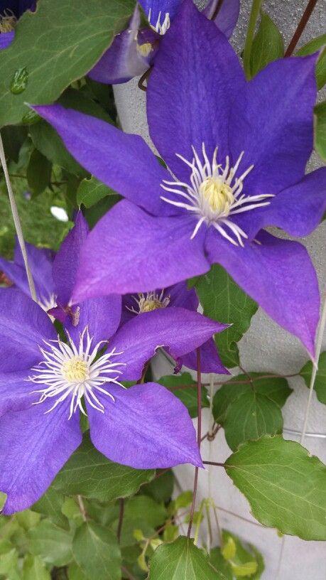 Purple Vining Flower Garden Landscape Design Perfect Garden