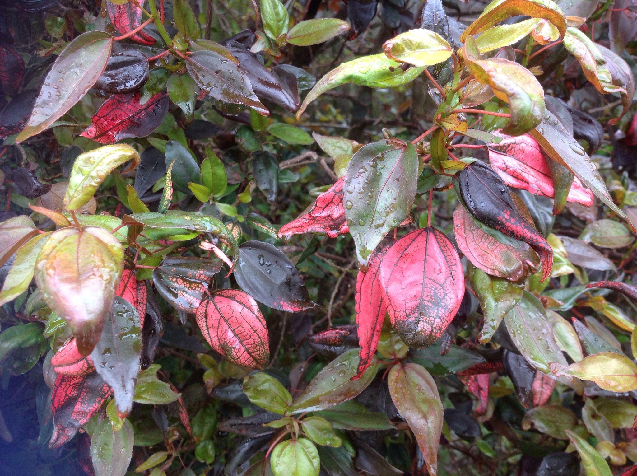 Acalypha Inferno Copperleaf Plants Plants Garden