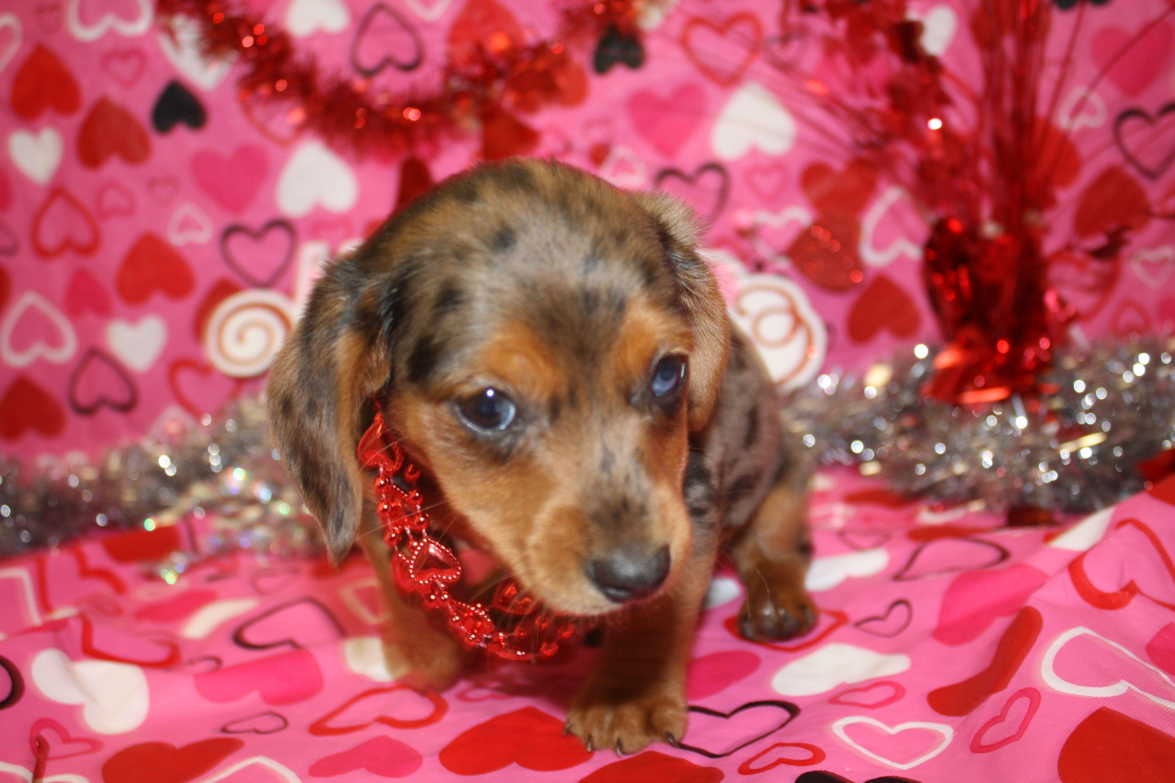 Beagle dachshund mix so cute dachshund mix puppy