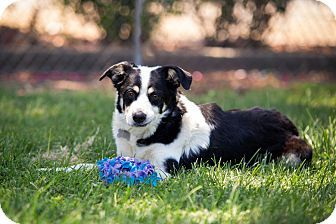 Pin By Norcal Border Collie Rescue Adoptions On Border Collies Available For Adoption Border Collie Collie Border Collie Mix