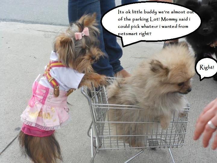 YorkieTalk.com Forums - Yorkshire Terrier Community