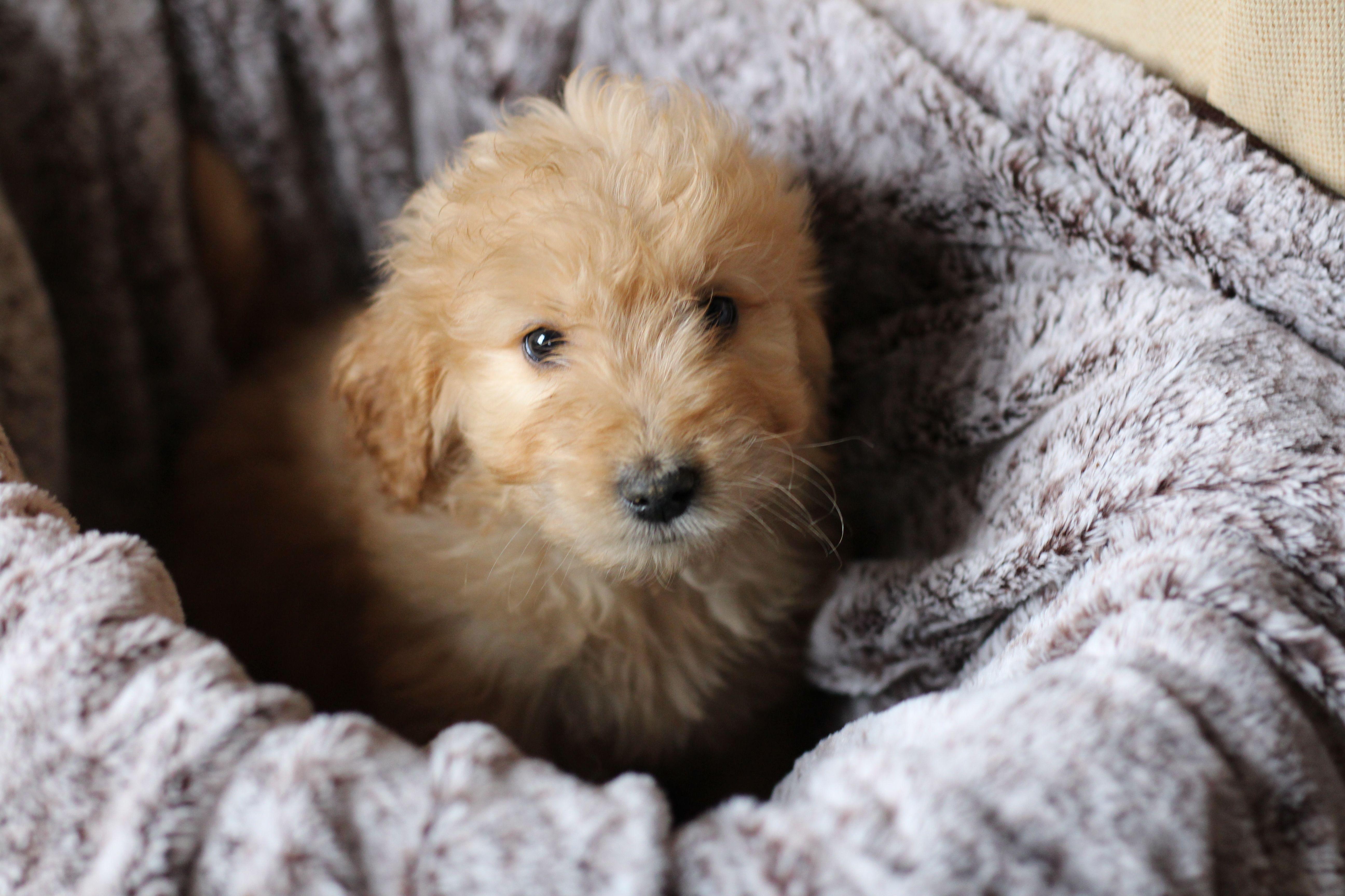 Goldendoodle goldendoodle goldendoodle puppy puppies