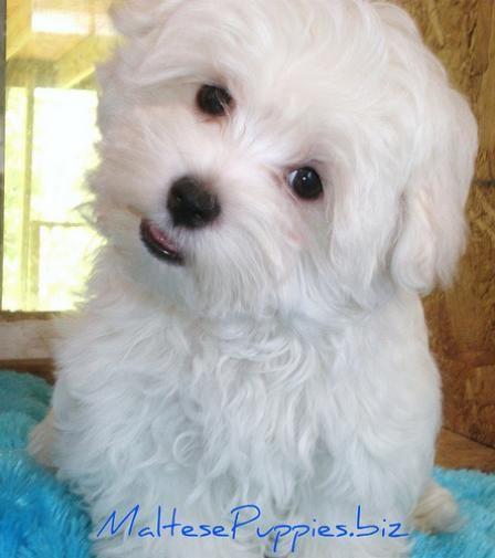 Teacup Maltese Puppies For Free | Maltese-Teacup-Puppies.jpg