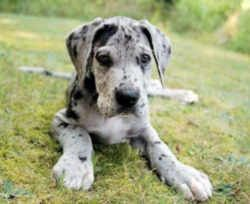 Pennsylvania State Dog Great Dane Great Dane Puppy Great Dane