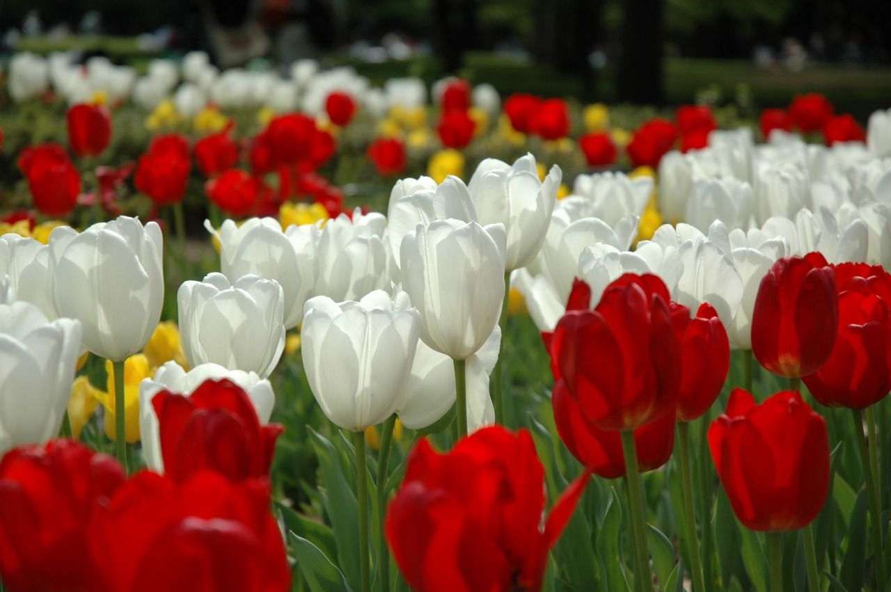 Tulips in Yoyogi Park, Tokyo.