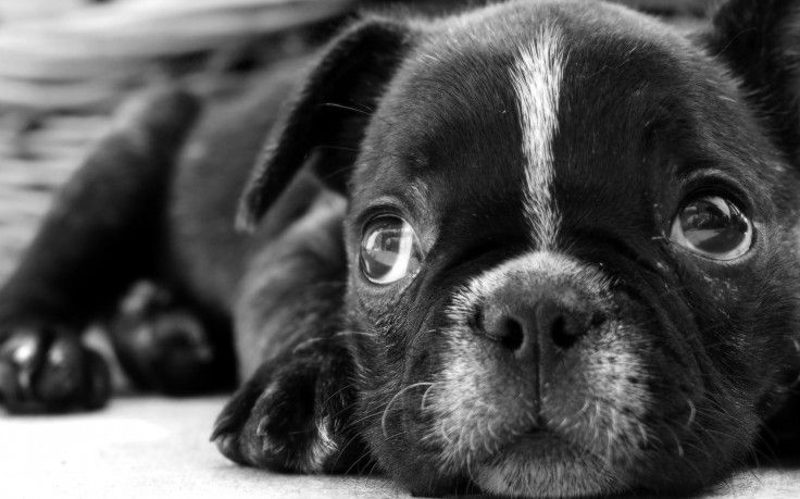 Cool Sad Black Adorable Dog - 93e26362e0ea2c30445e79b8ca5aa05e  Picture_765239  .jpg