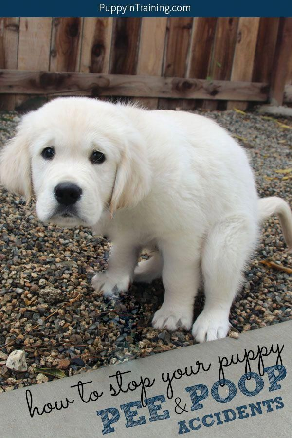 Things We All Adore About The Friendly Golden Retriever Puppy