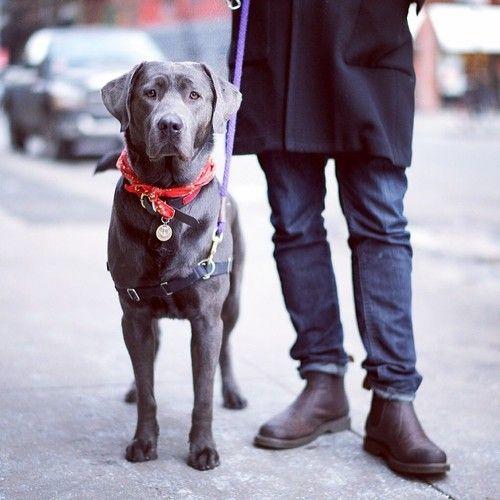 Boris Silver Labrador Retriever Soho Grauer Labrador Hunde Tiere