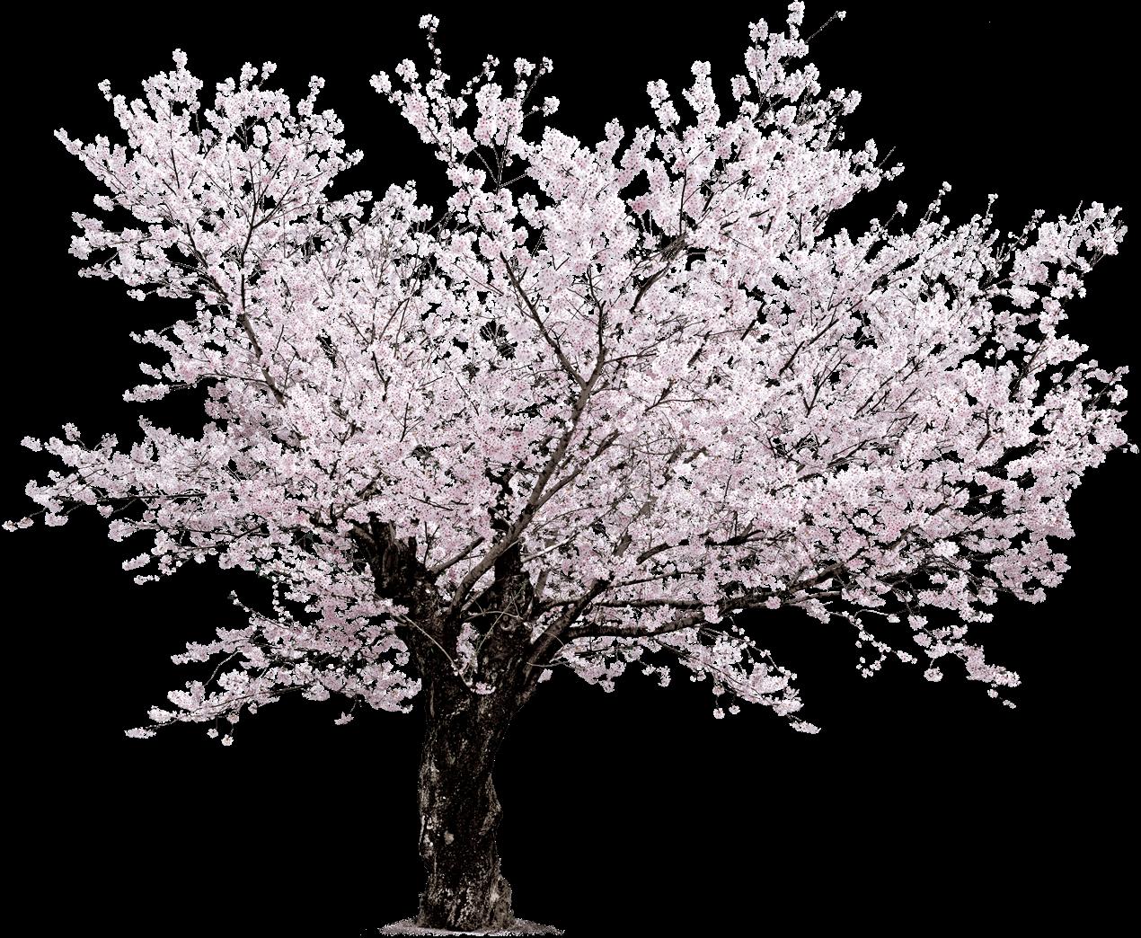 1270 1044 landscaping pinterest landscaping for Sakura albero