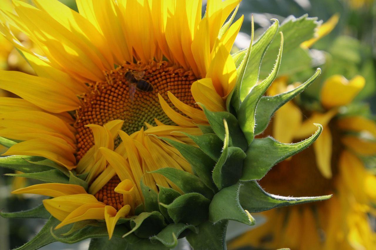 Slonecznik Kwiat Slonca Receptury Lecznicze Z Kwiatow I Pestek Sunflower Bloom Image