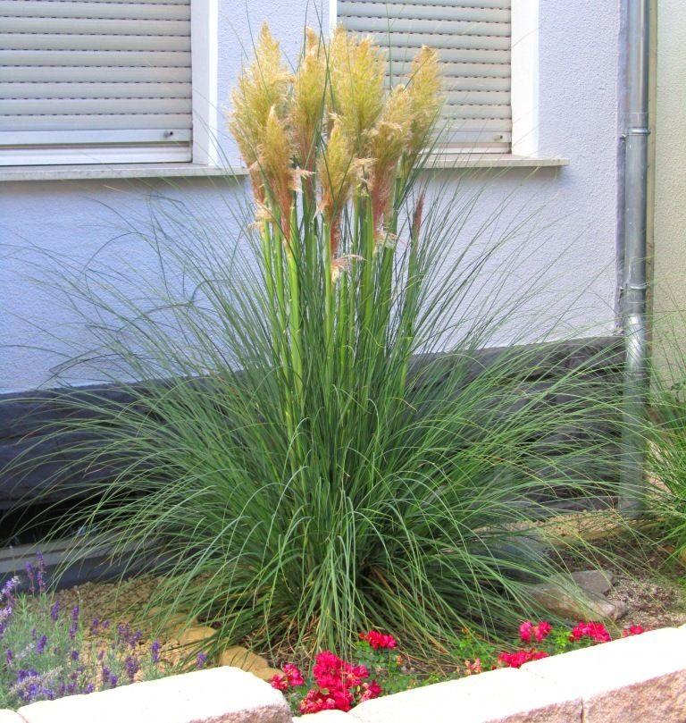 cortaderia selleona - pampasgras -gräser | vorgarten ideen, Garten und erstellen