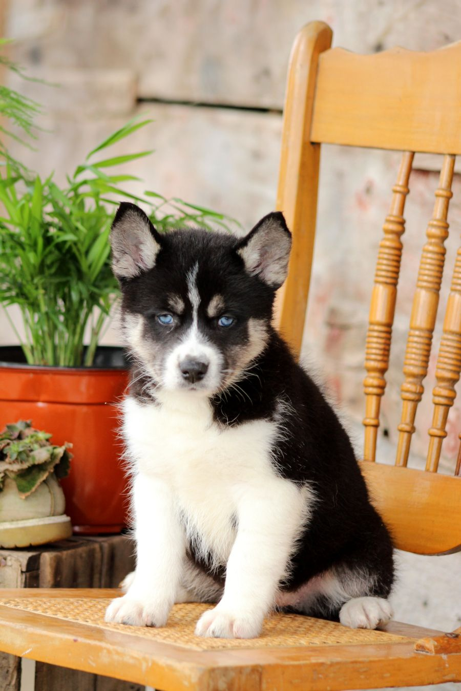 Pin By Ilovefood On Puppies Pomsky Puppies Pomsky Puppies For Sale Puppies