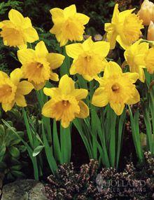 Dutch Master Daffodil Value Bag Bulb Flowers Daffodil Gardening Daffodils