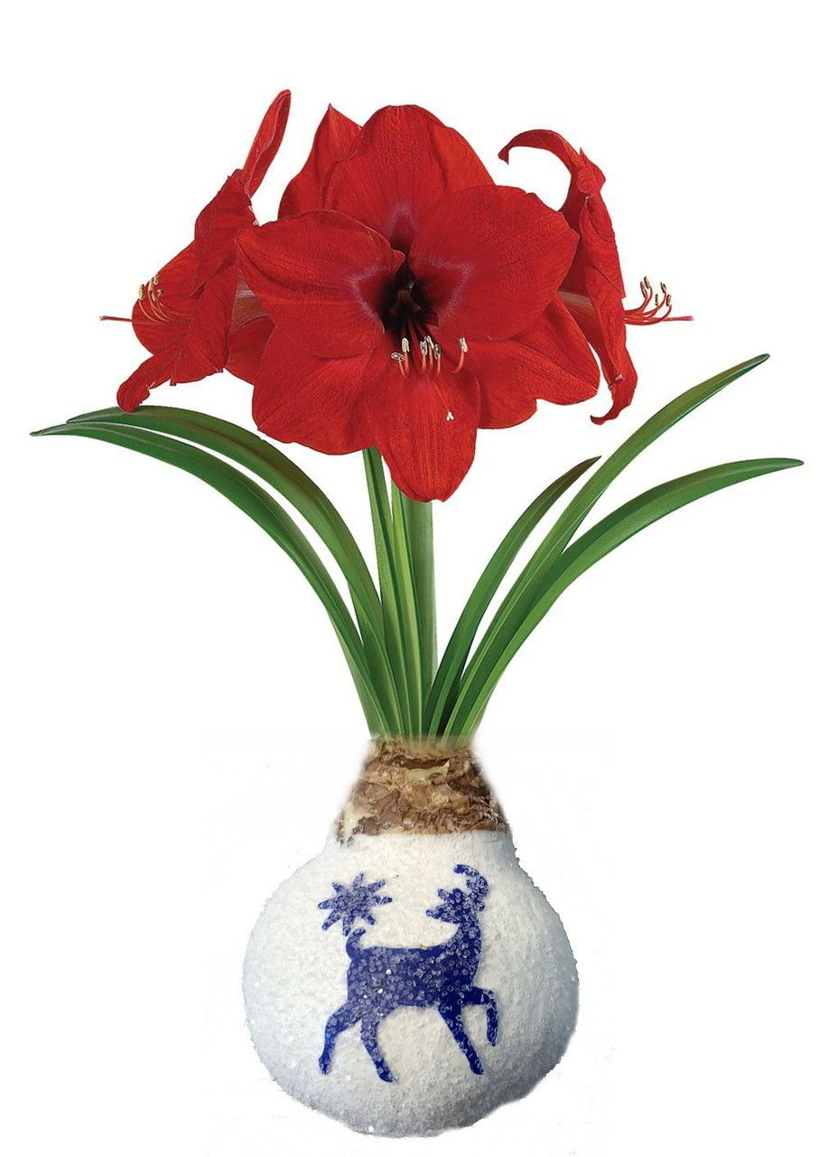 Snow White Glitter Wax Amaryllis Bulb Reindeer No Soil Water Needed To Bloom Hirt S Gardens Amaryllis Bulbs Amaryllis Bulb Flowers