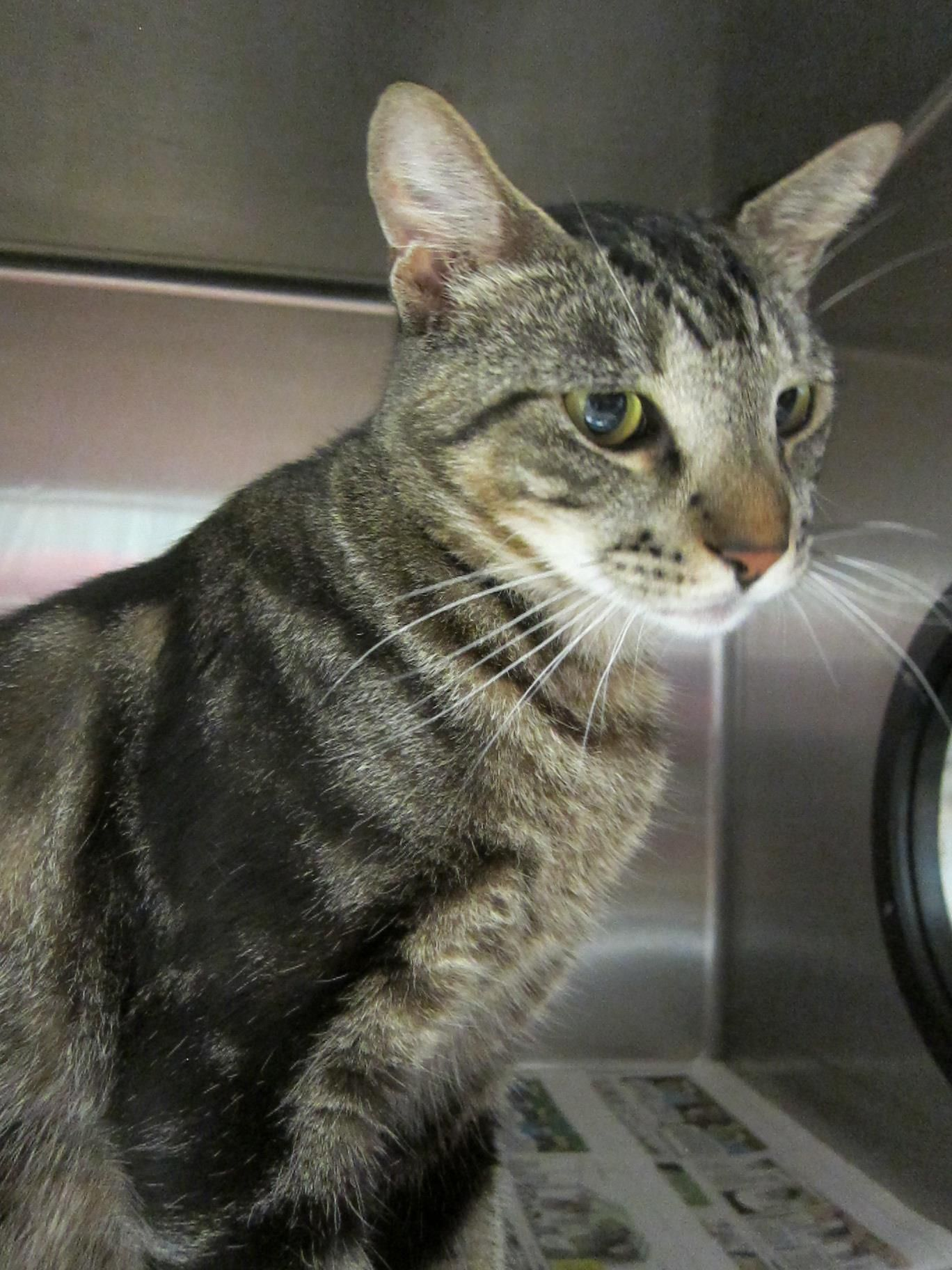 Extremely Urgent Euth Date Tomorrow Wednesday May 1 2013 This Beautiful Cat Is Hailey Id 1531934 Beautiful Cat Cute Little Kittens Service Animal