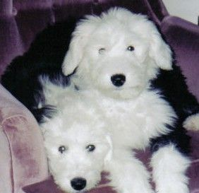 CONTACT ME - Barbs Lovable Old English Sheepdog Puppies