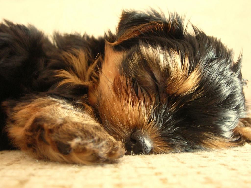 Yorkshire Terrier Puppy Desktop Wallpaper Pet Yorkshire Terrier Puppy Having A Snooze 1024x768 Wal Yorkie Dogs Yorkshire Terrier Puppies Yorkie Puppy