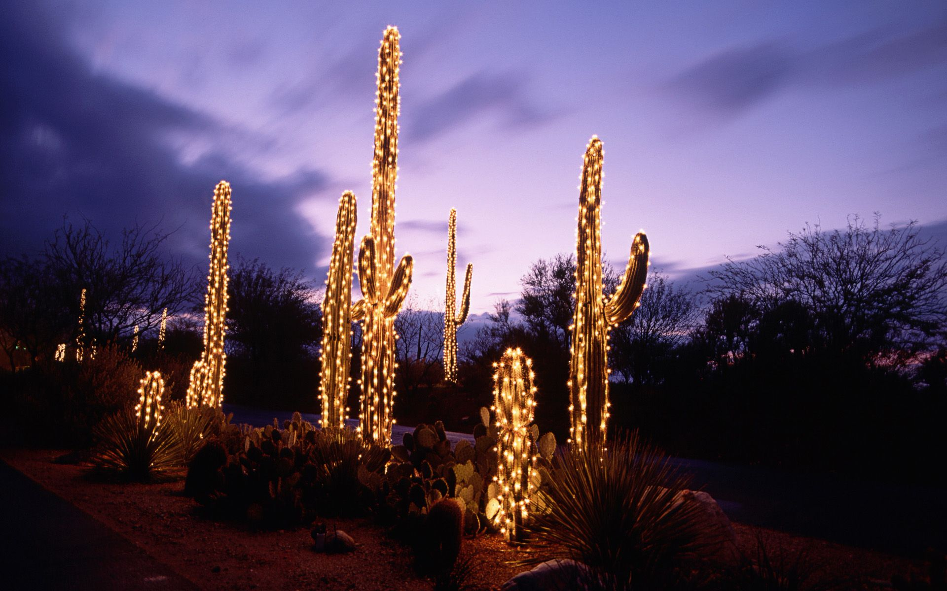 Chrisrmas Holiday Lights Wallpapers   Saguaro Cacti Decorated With Christmas  Lights, Sonoran Desert, Tucson, Arizona, USA Wallpaper 8