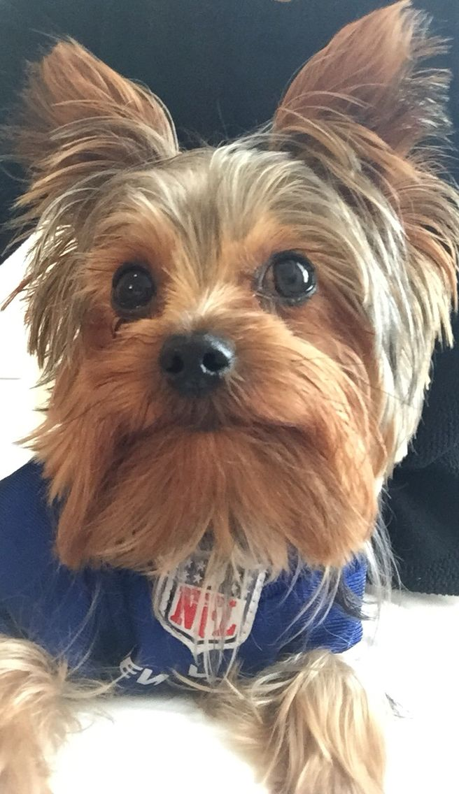 Yorkie game face on | Yorkie lovers, Yorkie, Beautiful puppy