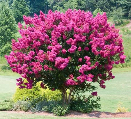 Pink Velour Crape Myrtle #schnellwachsendepflanzen