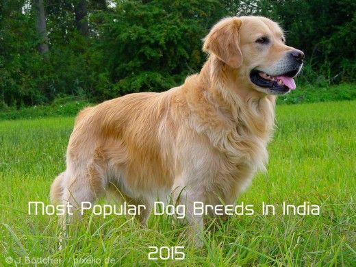 Top 10 Most Popular Dog Breeds In India Golden Retriever Breed