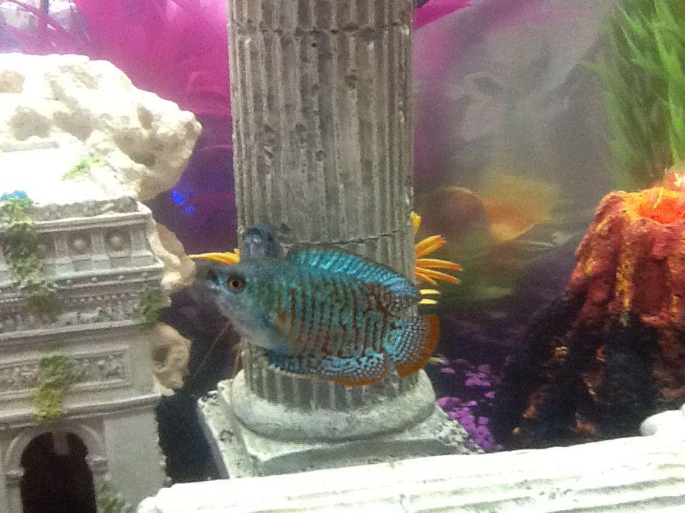 My Beautiful Neon Dwarf Gourami Fish Pet Pets Animals