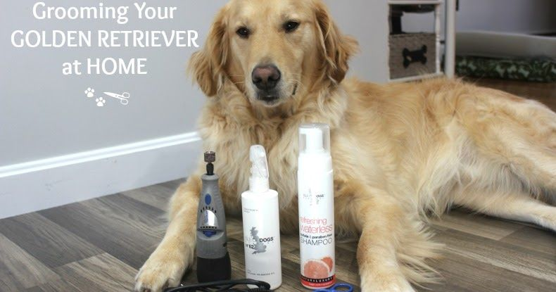 5 Tips To Keep Your Golden Retriever Groomed Between Appointments Golden Retriever Grooming Golden Retriever Golden Retriever Accessories
