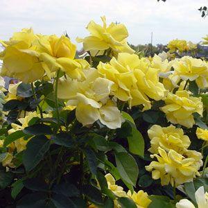 Grandma S Yellow Yellow Rose Of Texas 4 5 Types Of Rose Bushes Yellow Roses Beautiful Roses