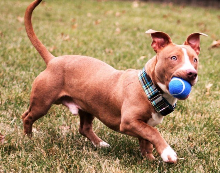 Pitbull Dachshund Mix Top Reasons Why The Whole Dog World Is