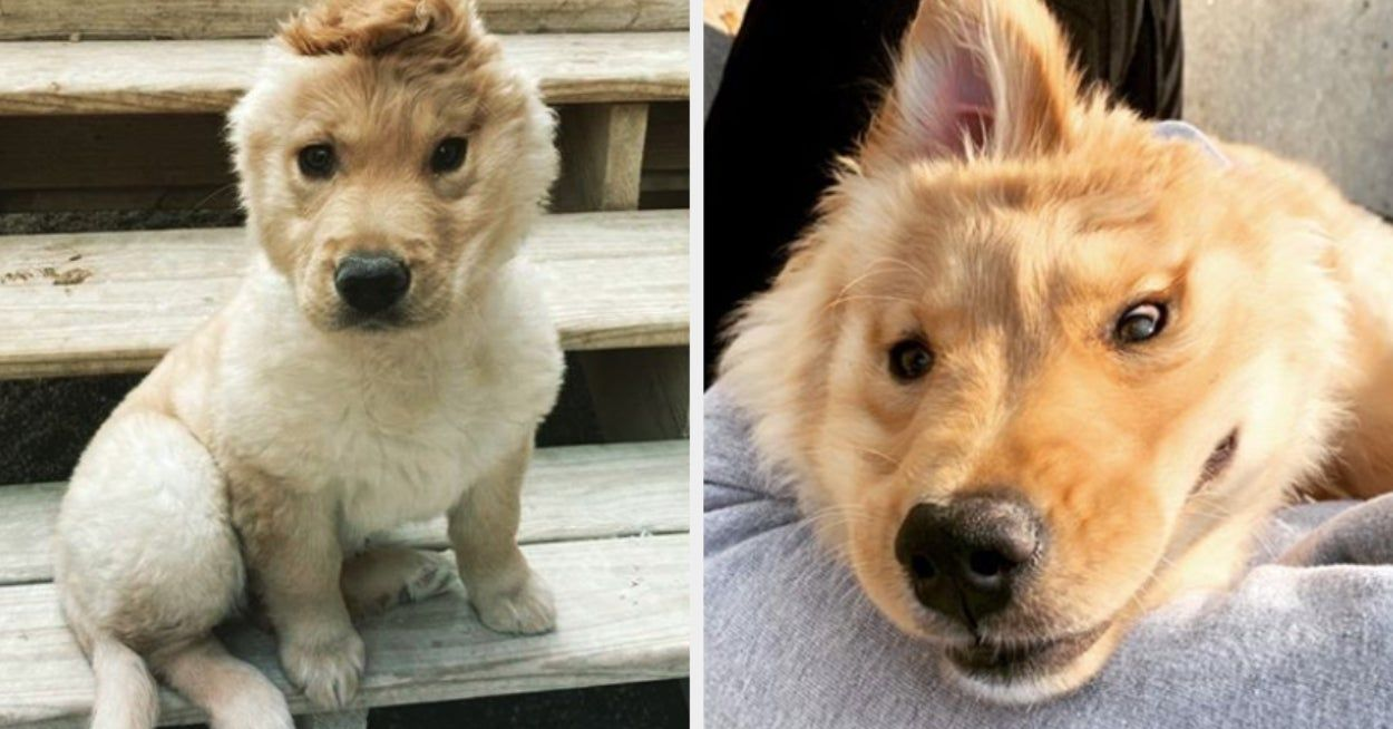"""Rae — The """"Unicorn"""" Golden Retriever Puppy — Is Here To"""