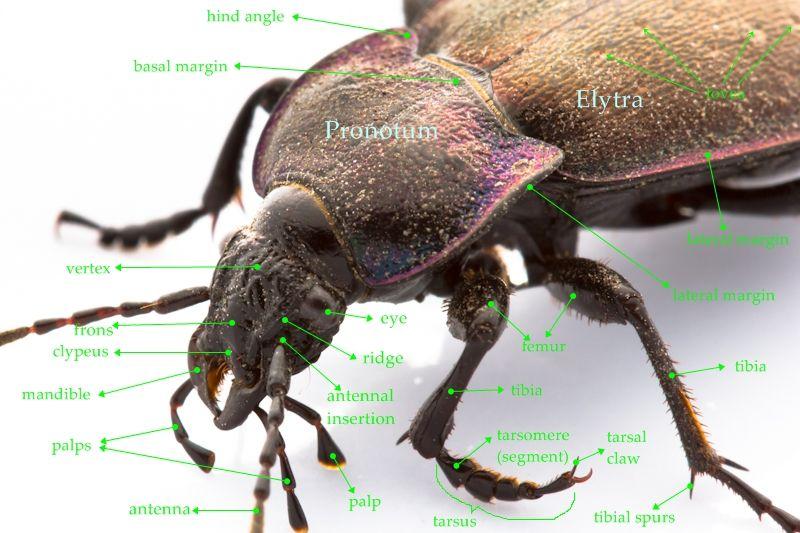 beetle anatomy - Google Search | Homeschool Science | Pinterest