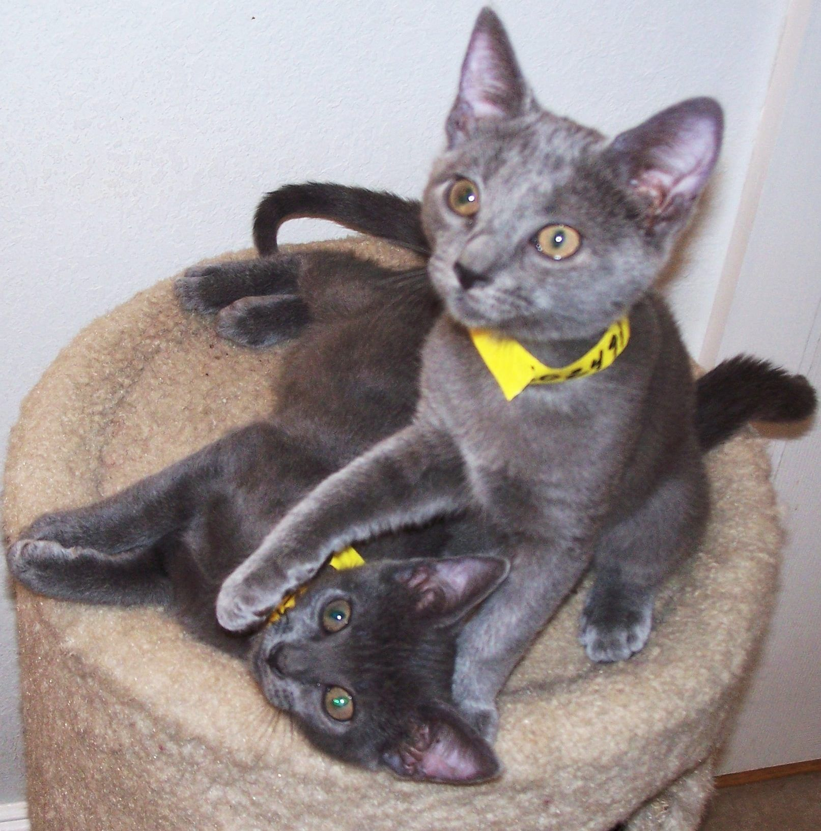 These delightful 10 week old Siamese Russian Blue mix kittens were