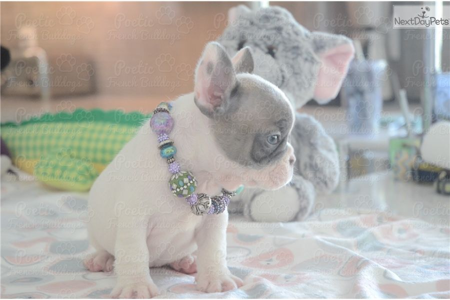 Missy French Bulldog Puppy For Sale Near Fort Lauderdale Florida