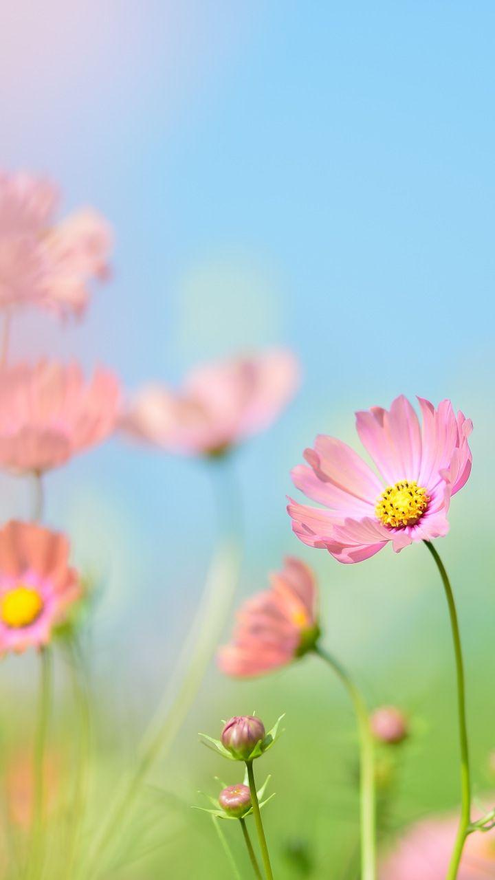 Pink Cosmos Flowers Meadow Plants Blur 720x1280 Wallpaper